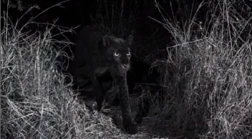Estudio científico documenta por primera vez tras 110 años al leopardo negro en
