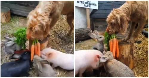 Paciente y amoroso, este perrito alimenta a los más pequeños de la granja en..