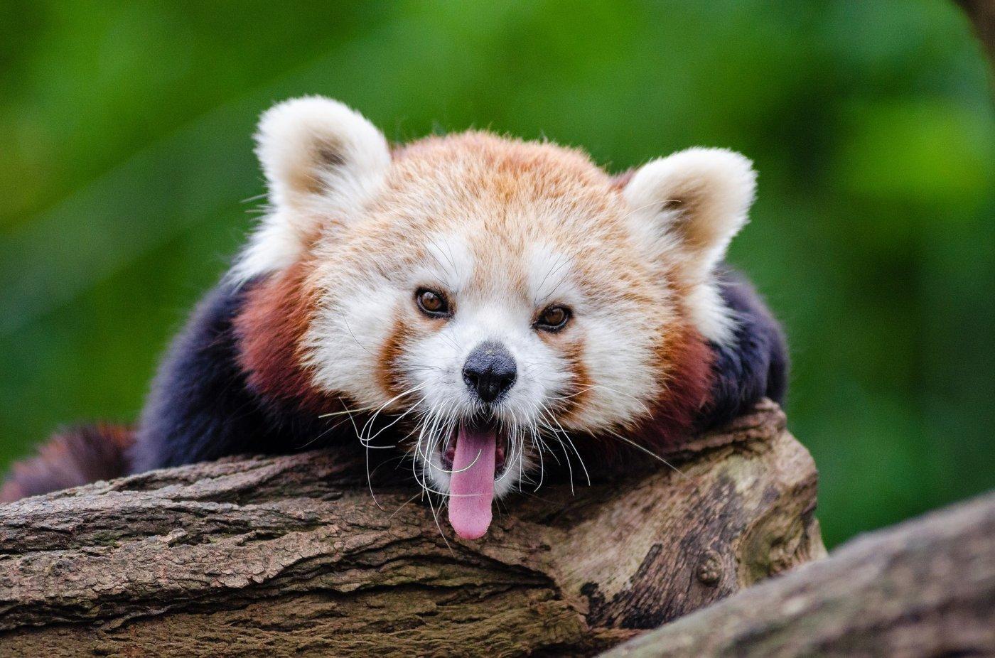 red-panda-1194506_1920