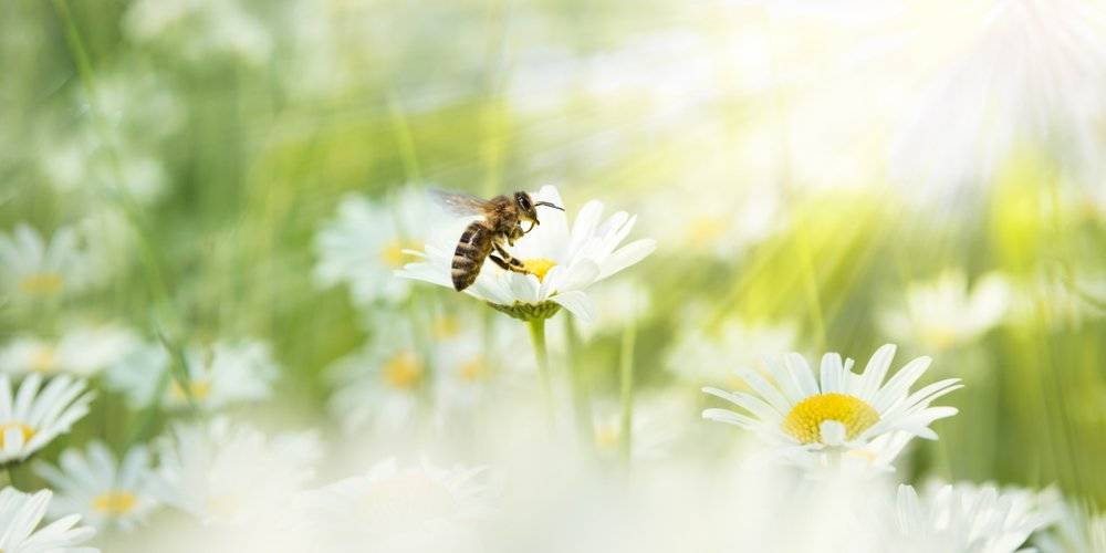 Descubre la sorprendente razón por la cual acabaremos con las abejas