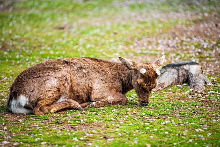Ciervo descansando en el césped rodeado de flores de cerezo