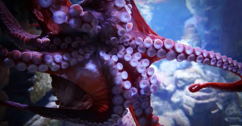 Graban al mítico calamar gigante en el Golfo de México