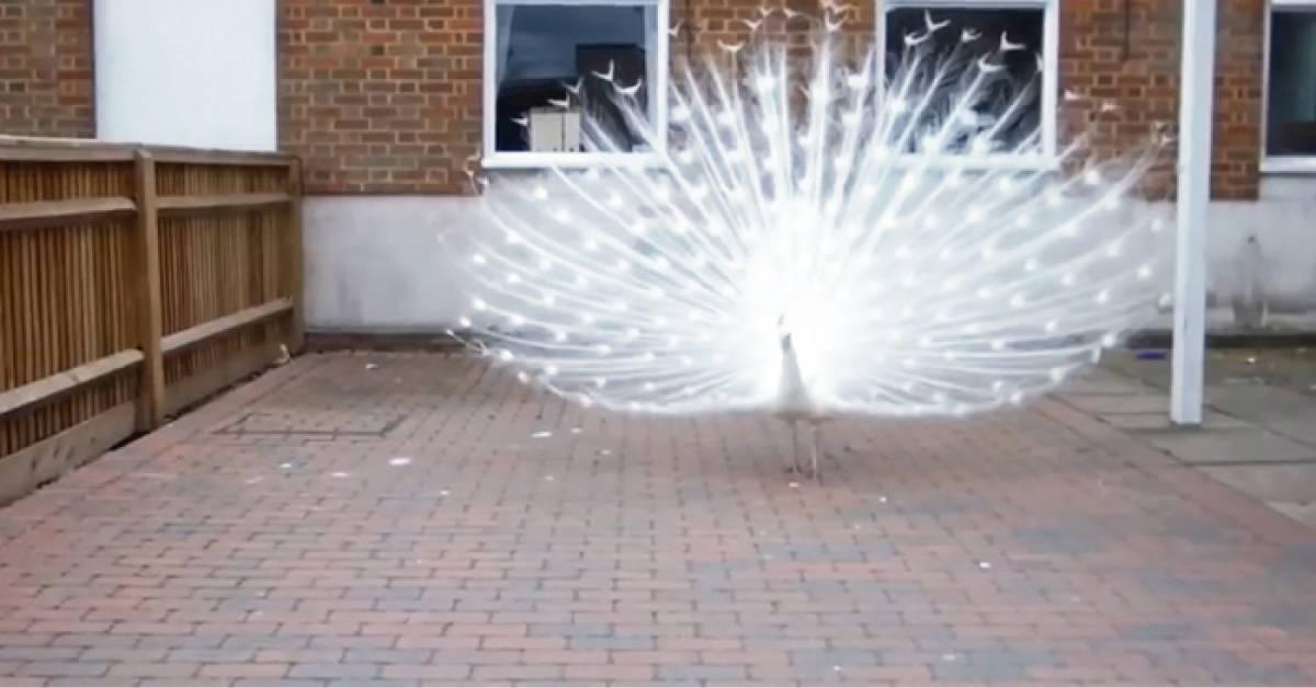 La majestuosidad y belleza de este pavo real impacta todos los que lo ven