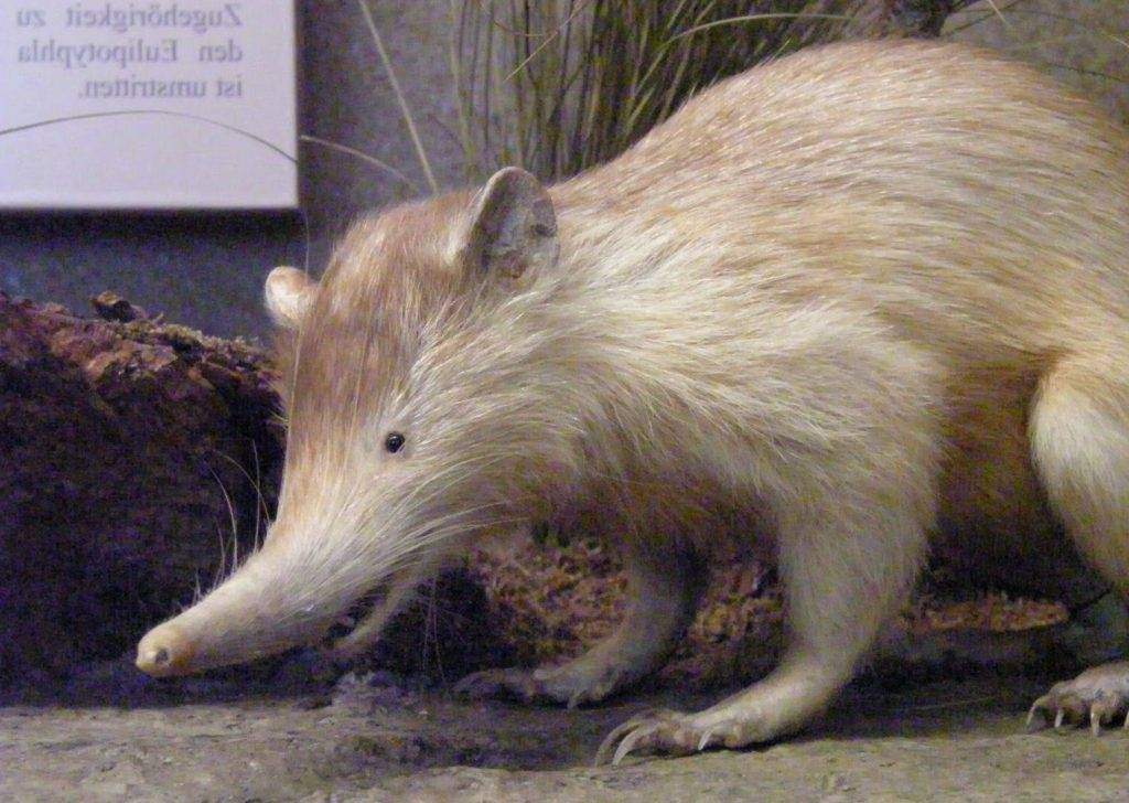El solenodonte. el mamífero que sobrevivió a los dinosaurios y además es ve..