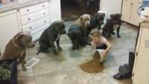Mira lo que hacen estos pitbulls hambrientos cuando una pequeña les pone comida