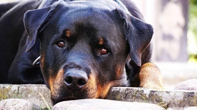 Un perro rottweiler cuidó toda la noche a un bebé abandonado y salvó su vida