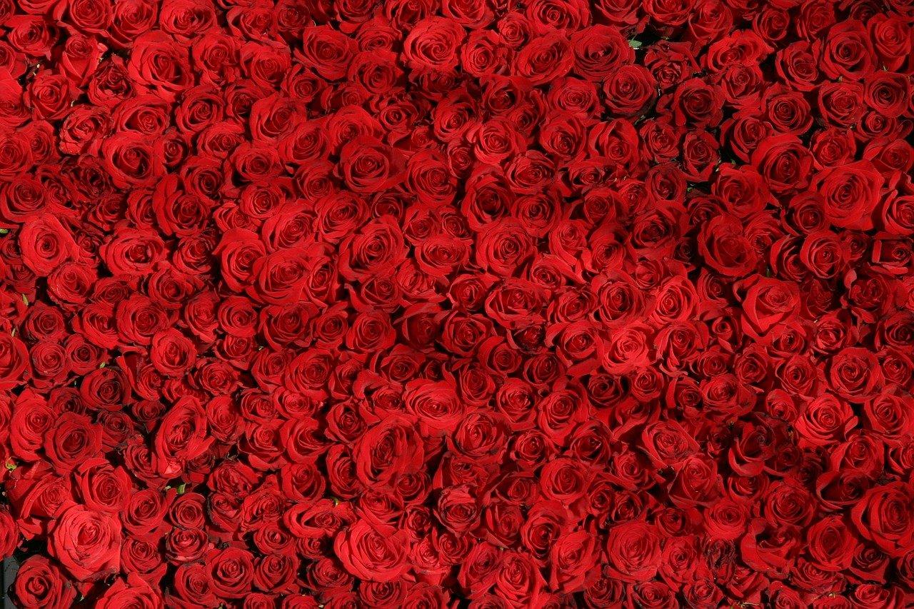 rose-374318_1280