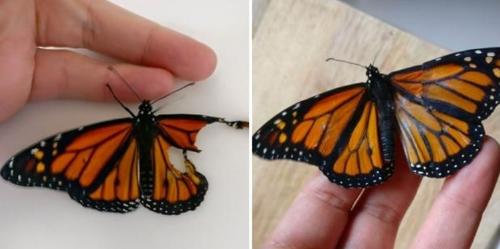 Así realizaron un trasplante de alas a una mariposa tras encontrarla herida