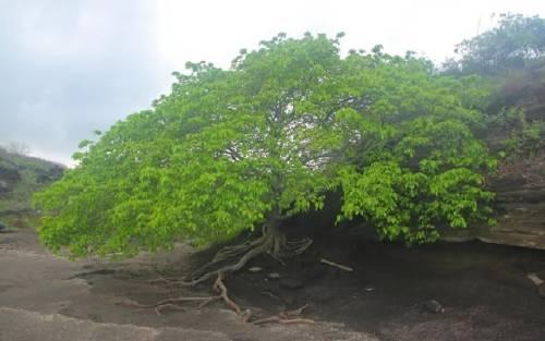 El árbol de la muerte, el más peligroso de la tierra.