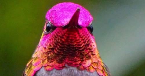 El encanto que revela las plumas del colibrí al momento de exponerse a la luz..