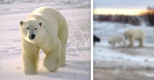 Un oso polar encuentra a un perro encadenado y su reacción te alegrará el día