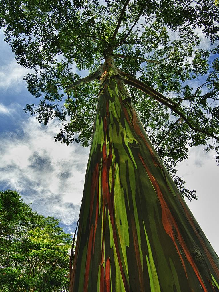 El árbol más colorido de la tierra