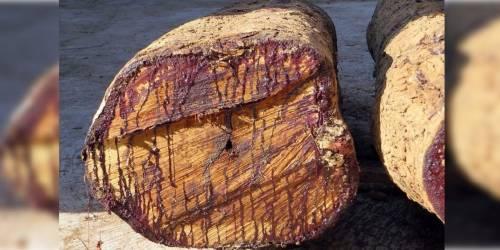 Este árbol \'\'que sangra\'\' cuando es cortado está causando misterio en redes