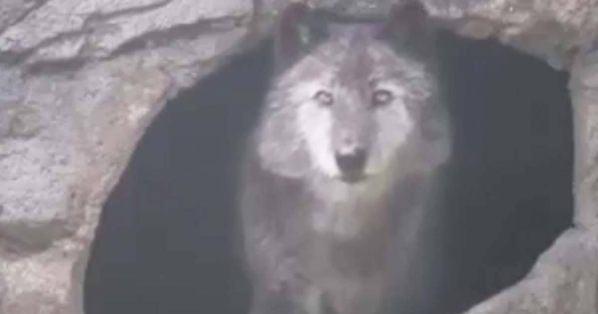 Con solo oír los aullidos de este lobo durante una tormenta, tu piel inevitab..