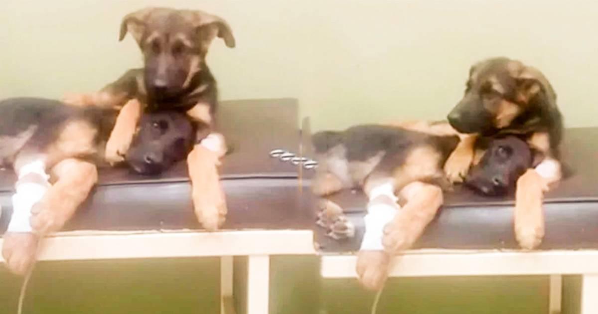 Este perrito cuida a su hermana enferma y esta escena ha conmovido a los ciber..