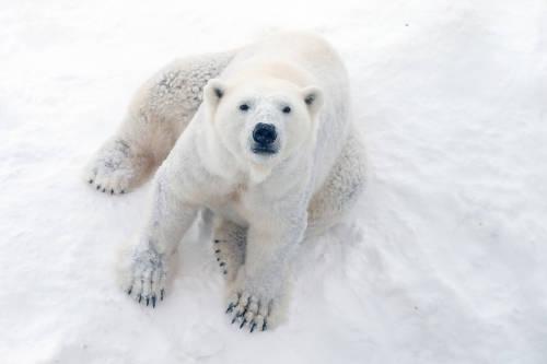 Aumenta el canibalismo entre osos polares por el derretimiento del Ártico