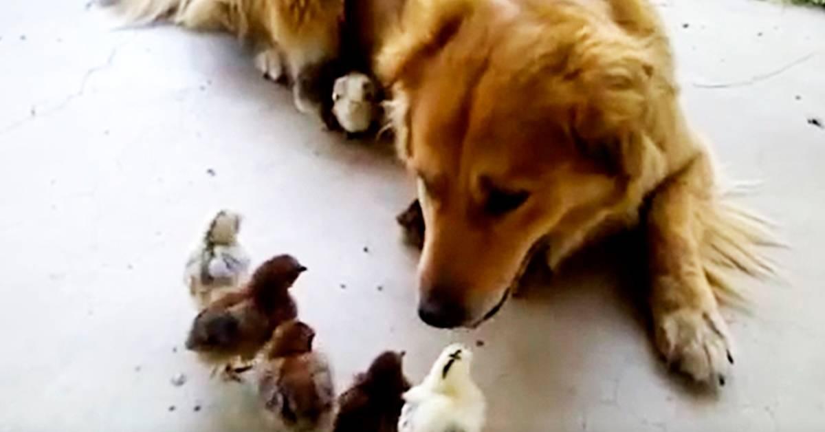 Golden retriever demuestra ser el mejor papá del mundo al adoptar a 10 pollitos