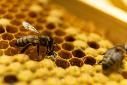 """""""Bulldog volador"""": así es la abeja más grande del mundo"""