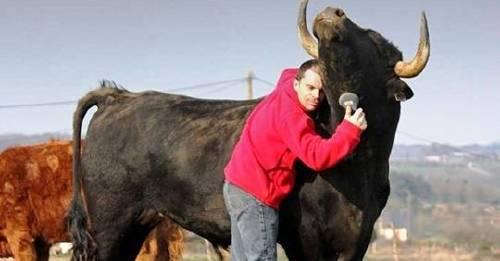 Este chico adoptó un toro de corridas y le muestra a todo el mundo lo que es ..