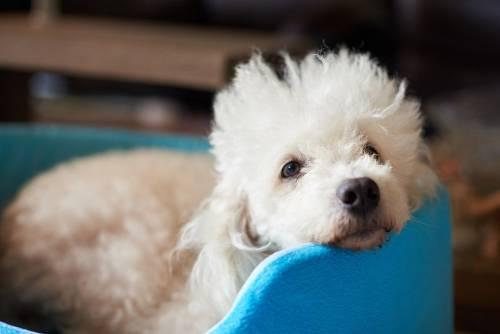 Un perro caniche se cae de un balcón y ocasiona tres muertes
