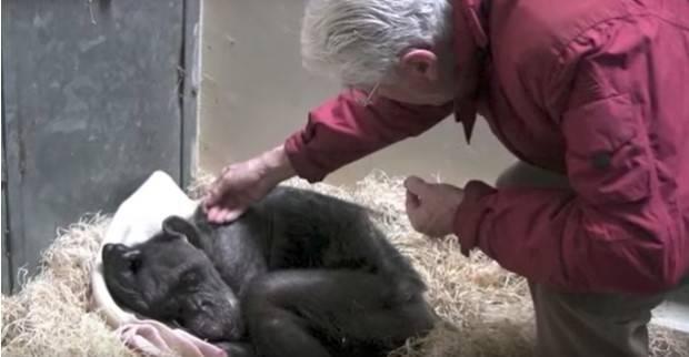 Esta anciana chimpancé a punto de morir recibió una visita inesperada que le..