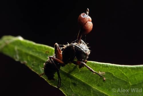 El hongo que convierte en zombis a los insectos.
