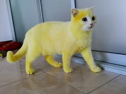 cat-yellow-736x552