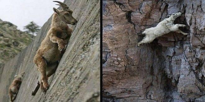 11+ fotos que muestran las cabras montañosas desafiando la ley de la gravedad