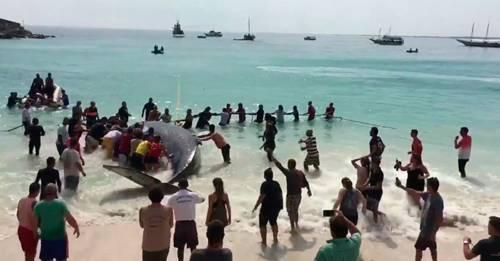 """Con gran esfuerzo esta gigantesca ballena es empujada nuevamente al océano, """".."""