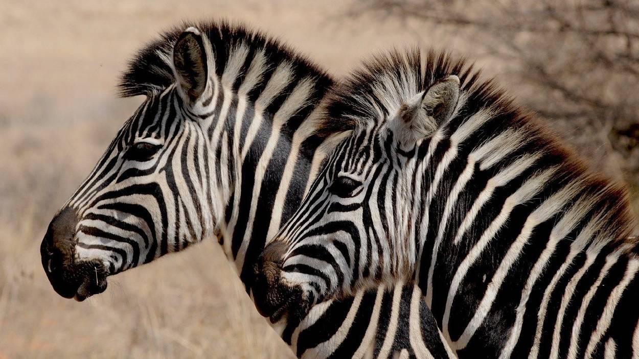 ¿Eres capaz de encontrar las teclas del piano ocultas entre estas cebras?