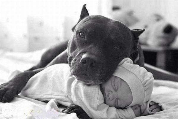 Pitbull, perros niñera.