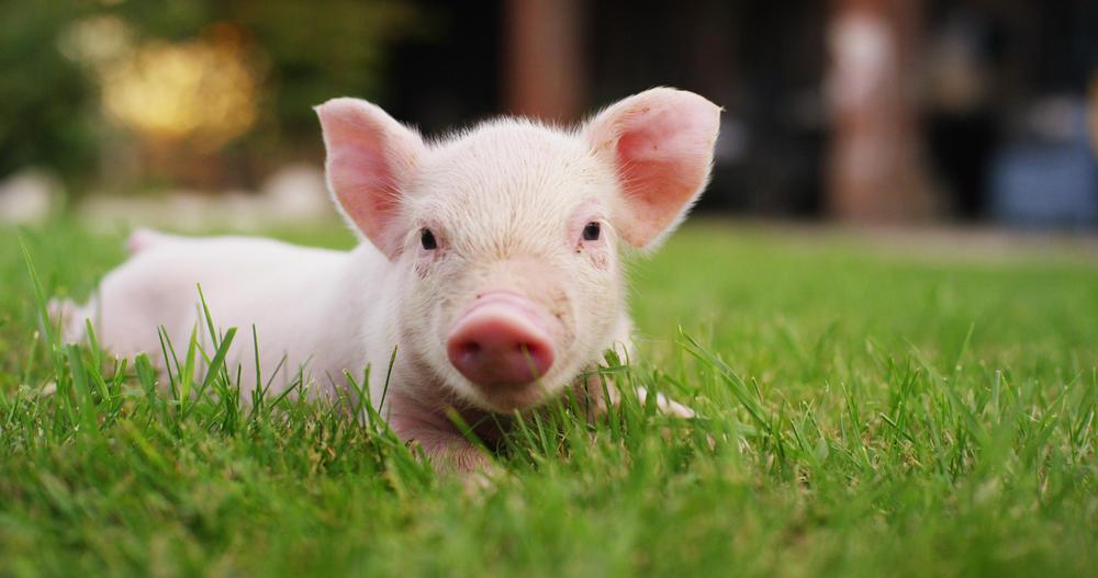 ¡Conmovedor! Cerdos le salvan la vida a un pez