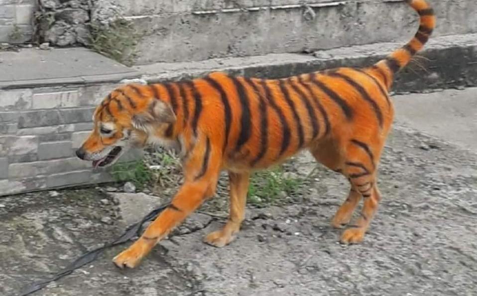 Pintan a un perrito como tigre y provoca indignación