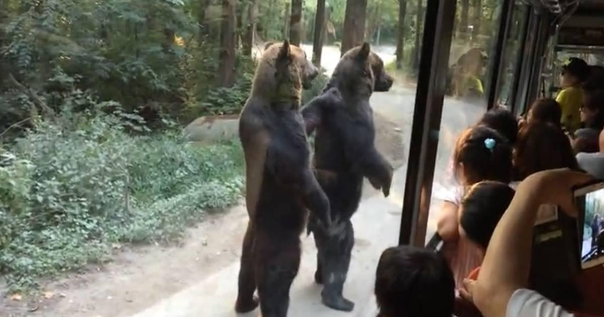 Estos osos caminan como humanos los excursionistas que estaban en el parque qu..